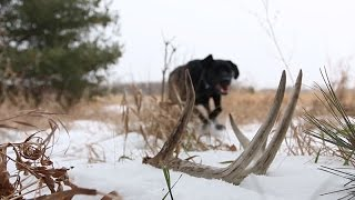 Shed Antler Dog Training Tip (scent)