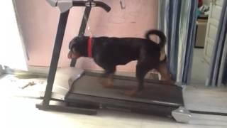 Rottweiler Doing Exercise