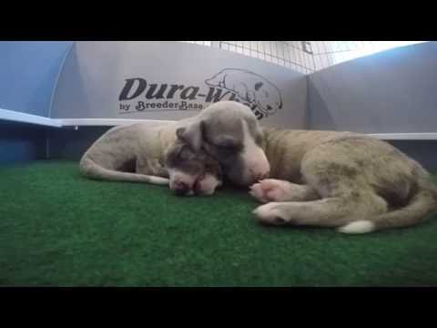 Sleeping... (21 Day Old Whippet Puppies)