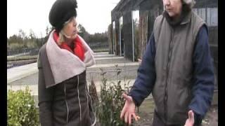 Privet Hedge,  Ligustrum Ovalifolium