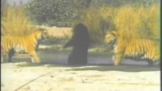 Бенгальские тигры против - Азиатского черного медведя