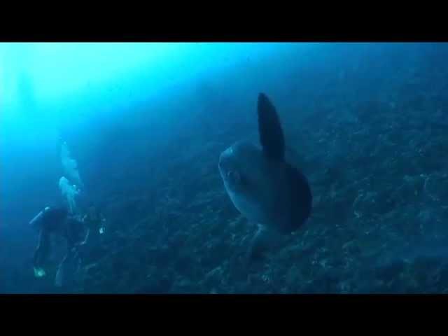 Bali diving (バリのマンボウ)