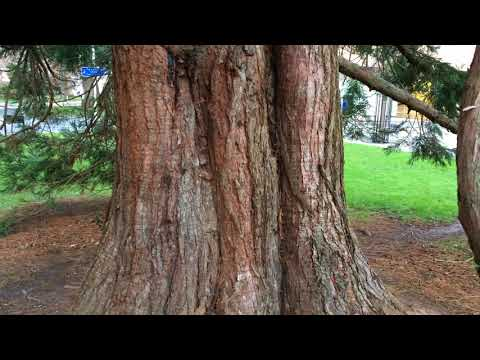 Giant redwood (Sequoiadendron giganteum) - trunk - February 2018