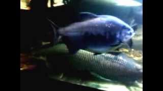 Ну очень БОЛЬШОЙ аквариум с большими рыбками