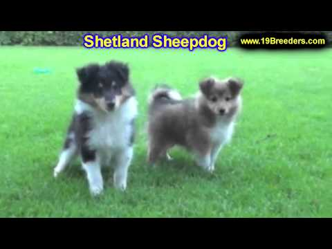 Shetland Sheepdog, Puppies, For, Sale In Toronto, Canada, Cities, Montreal, Vancouver, Calgary