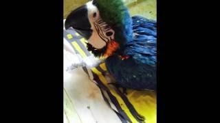 Купить попугая ара(, 2015-07-30T11:27:21.000Z)