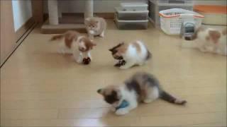 7月24日生まれのリナちゃんとアスラン君の子猫たち、毎日元気に遊ん...