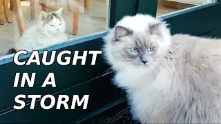 Caught In A Storm | Bowie The Ragdoll Cat & Bella the Lambkin Cat