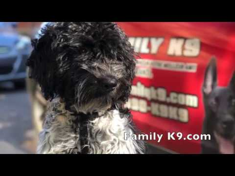 Portuguese water dog (PWD) puppy in training - Outremont