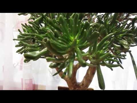 Денежное дерево.Как вырастить красивое денежное дерево.