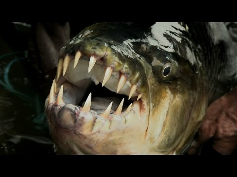 Thumbnail: Legendary River Predators Up Close and Personal