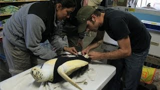 Sea Turtle With One Flipper Gets Rudder Prosthetic | Nature on PBS