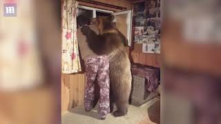 Domesticated bear gives his owner a lovely CUDDLE!