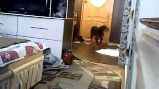 Что делает собака  когда дома нет хозяев   Часть 1(Что вытворяют наши любимчики под наблюдением и когда нас нет дома? Давайте будем наслаждаться просмотром..., 2015-05-10T20:20:57.000Z)
