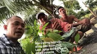 CẬN CẢNH CÂY THUỐC CHỮA LAO PHỔI - UNG THƯ PHỔI GIAI ĐOẠN CUỐI Ở TIỀN GIANG