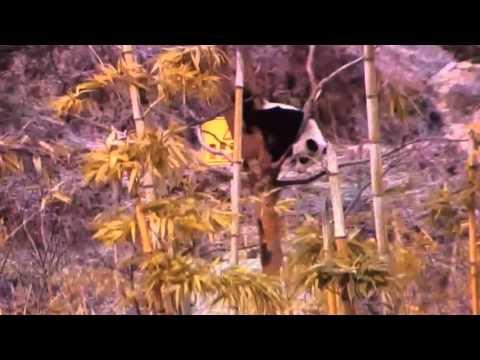 Wolong National Nature Reserve - Upside down tree panda