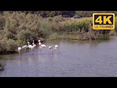 Relaxing TV Screensaver of Flamingos in 4K *****