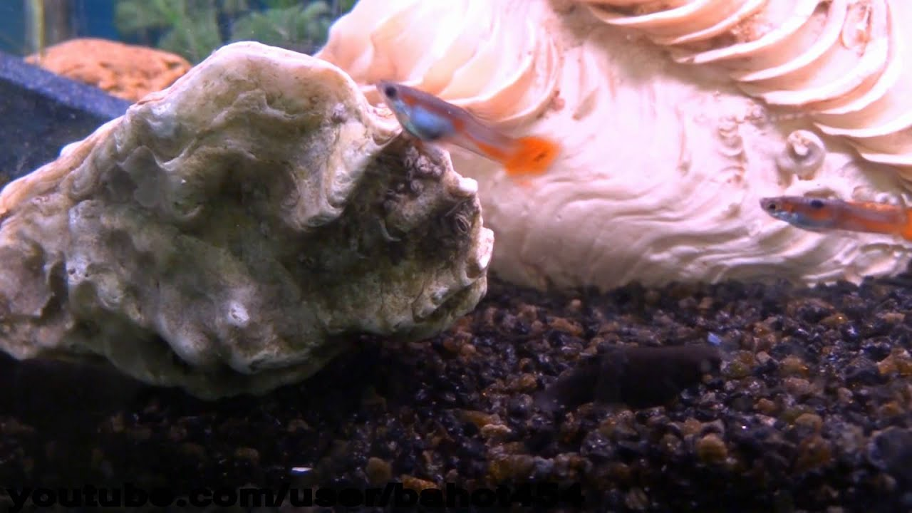 Live oyster in fresh water fish tank youtube for Sweet water fish