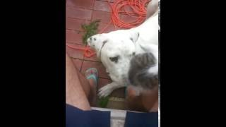 Athos and Durduk - dogo argentino and little kitten