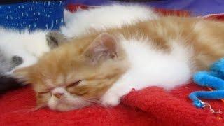 My anti-stress Мой анти-стресс. Котята  Екатеринбург 10.10.2015 - 11.10.2015 Выставка кошек.