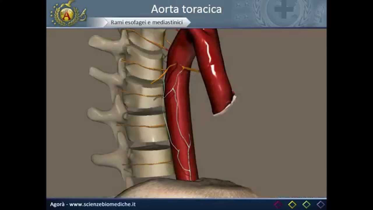 Apparato cardiocircolatorio 16: Rami dell\'aorta toracica - YouTube