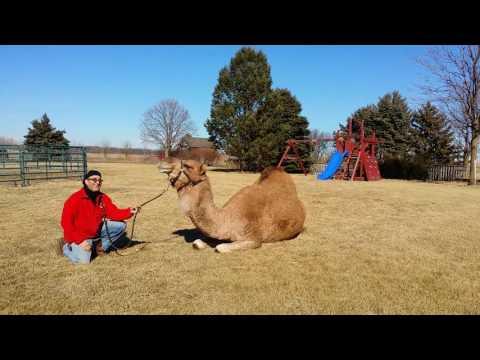 Entertainment Rental, Camel Rental,  Animal Rentals Chicago,  Fun Party Rentals, 12