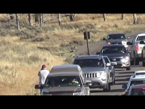 Yellowstone wolf 755M