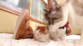 のせ猫 x ねこすりっぱ Cat slippers 161216