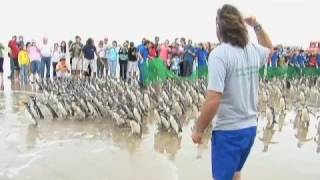 Historic Release of Penguins in South America