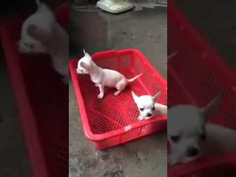 Cute chihuahua videos – Smart Dog