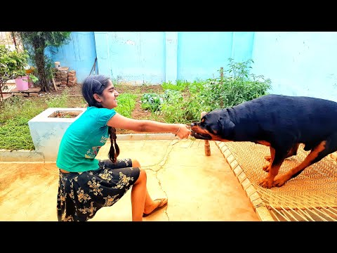 Angry rottweiler playing with kid.