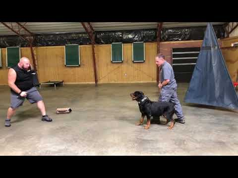 """9 Yr Old Rottweiler AKC Obedience Champion """"Retired"""" 1st Protection Lesson Results"""