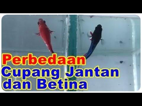 Perbedaan Ikan Cupang Jantan Dan Ikan Cupang Betina Youtube