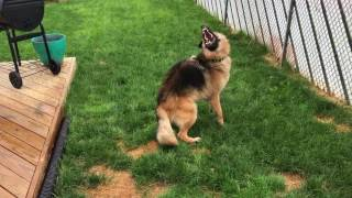 Shepherd loses his mind over garden hose