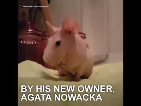 Hairless Guinea Pig Goes From Abandoned To Internet Famous