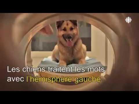 Les chiens comprennent le langage humain