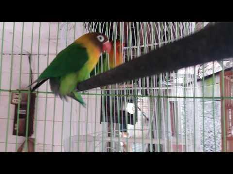 Ciri LOVE BIRD JANTAN birahi  | Gesek tangkringan - GESTANG