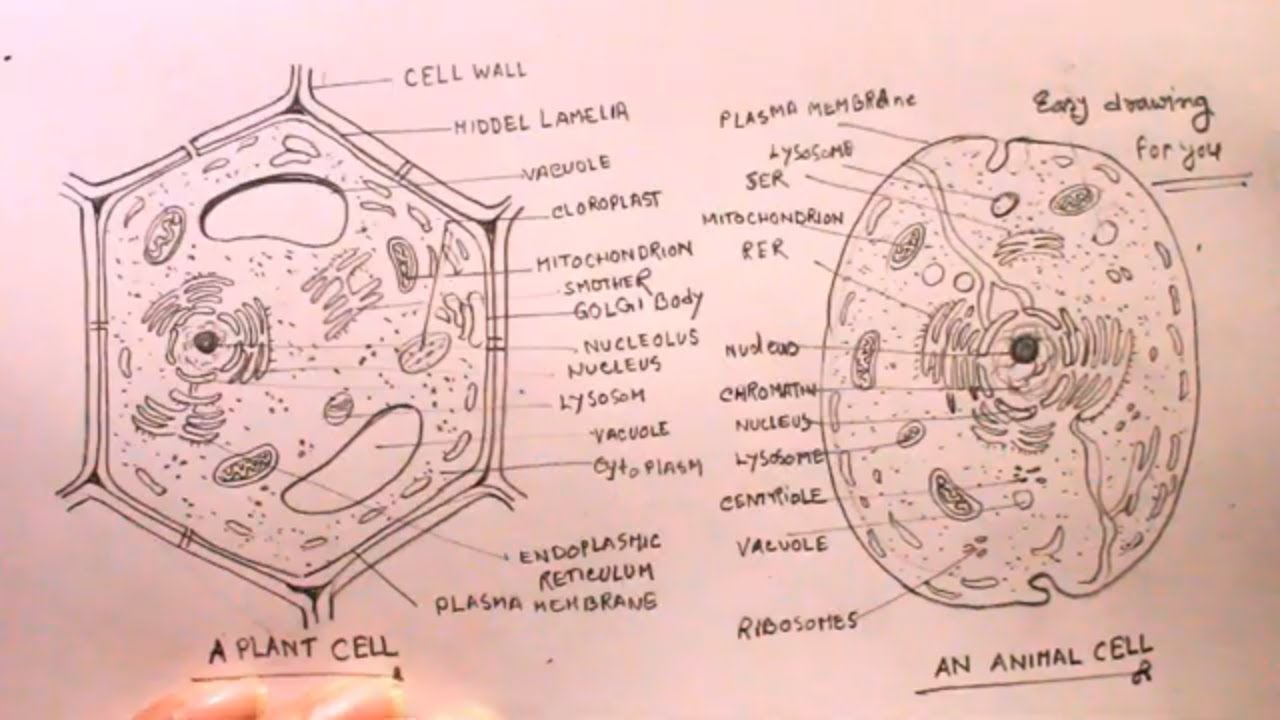 How TO Draw plant cell and animal cell step by step/animal ...