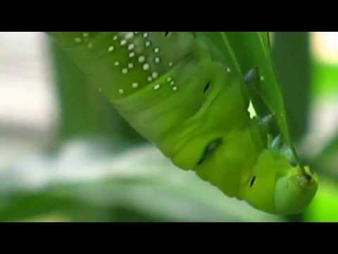 Caterpillar eats a leaf (HD IN YOUR FACE)