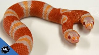 Two Headed Freak Animals! SnakeBytesTV - Ep. 406 : AnimalBytesTV