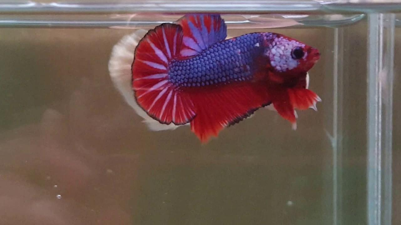 Live Betta Male Fancy Red Blue Marble Halfmoon Plakat Thai Export ...