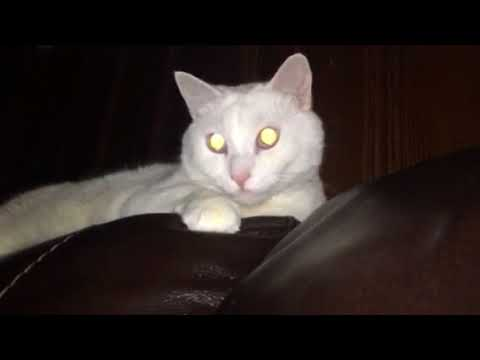 Cat listens to music and dances tail to beat