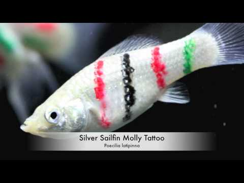 Sailfin Molly Tattoo / Aquarium Tropical Fish