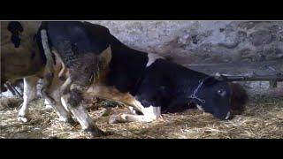 Moje Gospodarstwo ☆ hodowla bydła 2014 + Bonus ㋡ WarmiaTeam