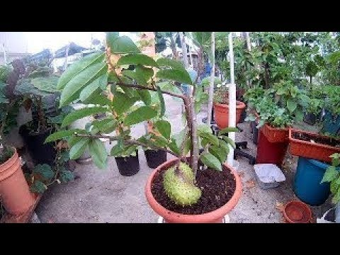 Soursop Tree Air Layering Propagation
