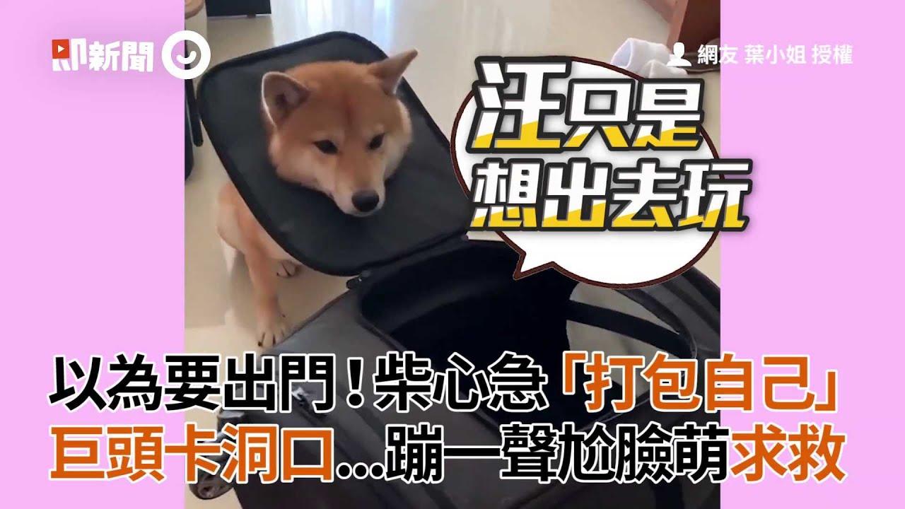 柴犬以為要出門!心急打包自己 巨頭卡包包洞口賣萌求救│寵物│狗狗│柴犬