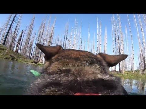 German Shepherd plays fetch in scenic lake wearing GoPro