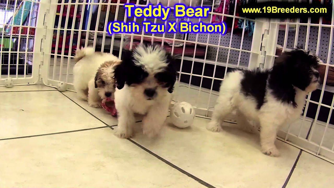 Teddy Bear Puppies For Sale In Toronto Canada Cities
