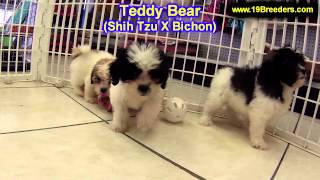 Teddy Bear, Puppies, For, Sale In Toronto, Canada, Cities, Montreal, Vancouver, Calgary