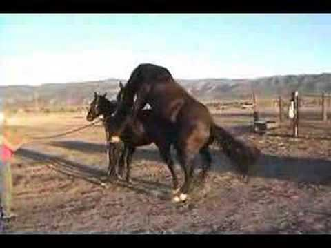 two horses mating